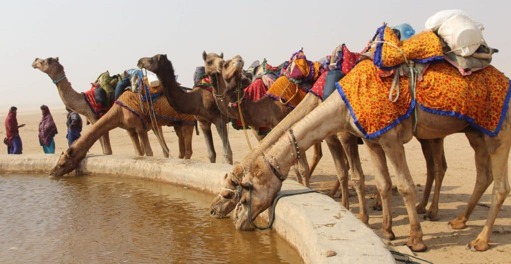 Thirsty-camels